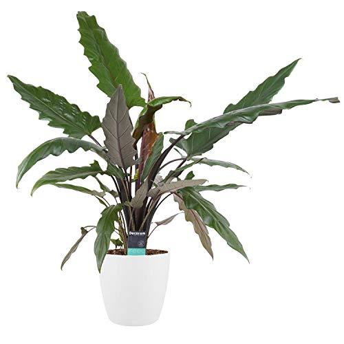 Zimmerpflanze – Elefantenohr in weißem Übertopf als Set – Höhe: 90 cm