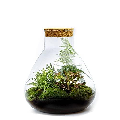 DIY Giardino in bottiglia Sostenibile da Botanicly: Erlenmeyer Grande – Botanisch (Altezza: ca. 34 cm, Larghezza: ca. 28 cm)
