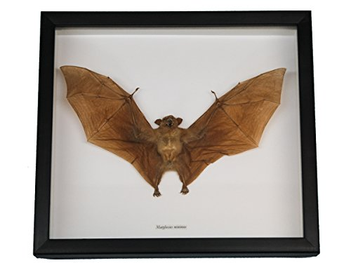 Framed Real Nectar-Eating Bat (1234-20)