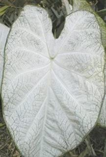 (2) June Bride Caladium, Bulbs, Great for any Garden, Great as a Houseplant