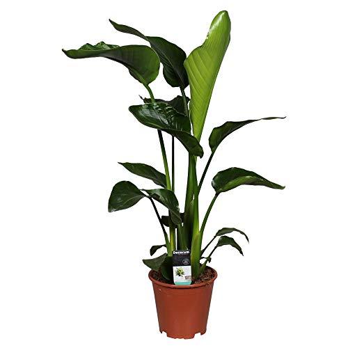 Strelitzia nicolai XL | Paradiesvogelblume | Baumstrelitzie | Höhe 90-100cm | Topf-Ø 19cm