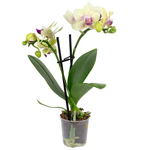Schmetterlingsorchidee 2-Trieber mini,...