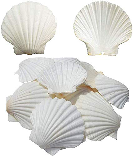 SEAJIAYI Scallop Shells for Serving Food,Baking Shells Large Natural White Scallops from Sea Beach for DIY Craft Decor 4-5 Inches