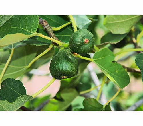 Dehner Feige Pfälzer Fruchtfeige, essbare rote Früchte, ca. 80 cm, 6 l Topf, Obstbaum