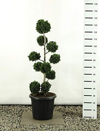 Scheinzypresse Formschnitt Formgehölz Bonsai PonPon - Chamaecyparis lawsoniana Wisselii Multibol - Gesamthöhe 100-125 cm - 20 Liter Topf