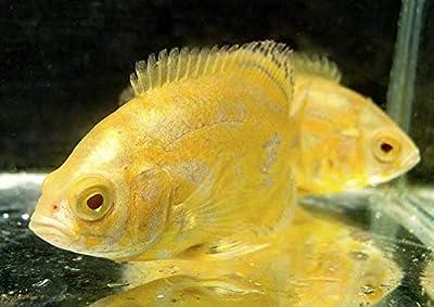 "Lemon Oscar Cichlid 2"" Live Tropical Fish for Tank or Aquarium"
