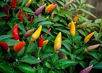 Shop Meeko Casa Giardino - Peperoncino varietà mix - per la coltivazione indoor e balcone - semi