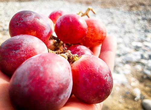 RWS raisins de vigne énormes süße vigne 5 graines (raisin rouge Globe)