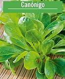 Semillas de Canónigos Valerianella Locusta 350 Semillas de Planta Comestible para Ensaladas