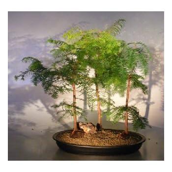 Amazon Com Juniper Bonsai Tree Juniperus Chinensis Parsonii Garden Outdoor