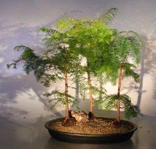 Bonsai Boy's Redwood Bonsai Tree Three 3 Tree Forest Group metasequoia glyptostroboides