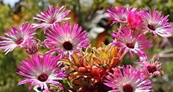 Fash Lady 4000 + ICE PLANT MIX Seeds (Livingston Daisy) Fleurs de couvre-sol Rock Gardens