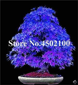 vonly 20 PC Japanisches rosa Ahorn Indoor Bonsai-Baum, Günstige Garten, Profi-Pack, sehr schön Innen Zuhause, Balkon, Garten Baum: 18