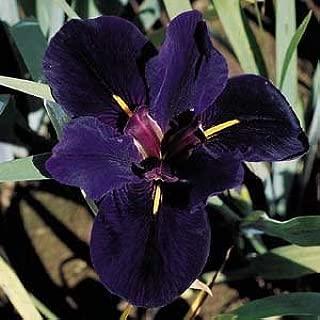 2 Black Gamecock Louisiana Iris - Bare Root/Plant