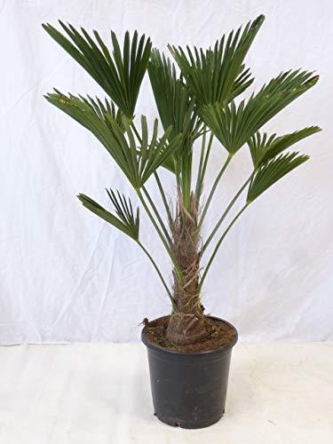 [Palmenlager] Trachycarpus wagnerianus - Winterharte Palme 60 cm - Stamm 10 cm = Wagner Palme -18°C // robuster als Tr. fortunei