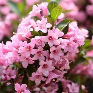 50 OLD FASHIONED WEIGELA Florida Bush Shrub Flower SeedsComb S/H