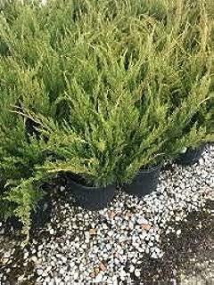 Juniper - Sea Green - Juniperus Chinensis - 6 Inch Pot - Drought Tolerant Evergreen