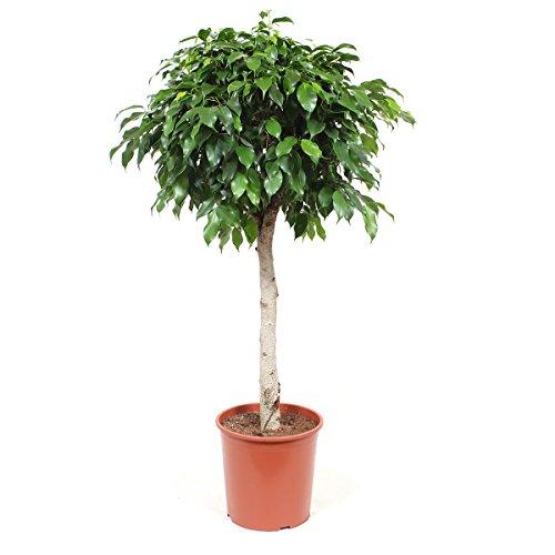 Zimmerpflanze von Botanicly – Birkenfeige – Höhe: 105 cm – Ficus benjamina columnar