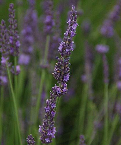 Lavender Phenomenal - Live Plant - Fragrant