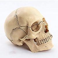 1:2人間の頭蓋骨モデル解剖学的医療教育スケルトン取り外し可能15パーツ、教育、医療行為、学生、臨床検査室の装飾