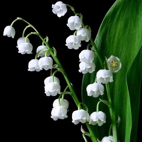 10 Pezzi Bulbi Di Mughetto Bell Orchidea Accattivante Forma...