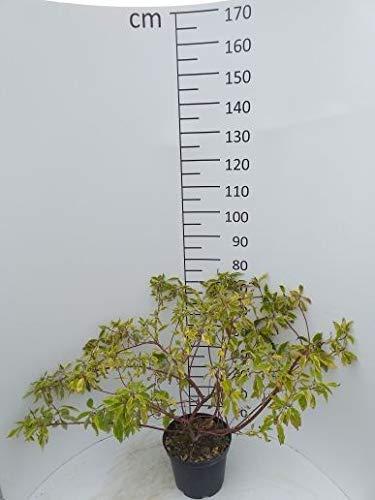 Späth Gelbbunter Hartriegel LH 60-100 cm im 3 Liter Topf Zierstrauch winterhart Gartenpflanze gelb blühend