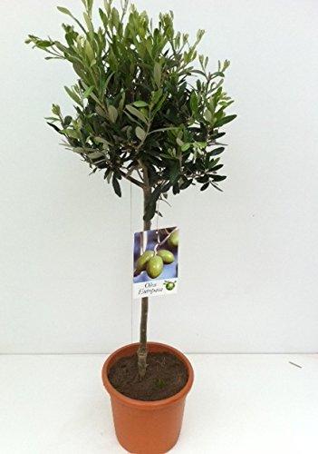 Olivenbaum, Stamm, (Olea europea), Tragen dieses Jahr Oliven, kräftige Bäume, (ca. 80cm hoch, im ca. 19cm Topf)