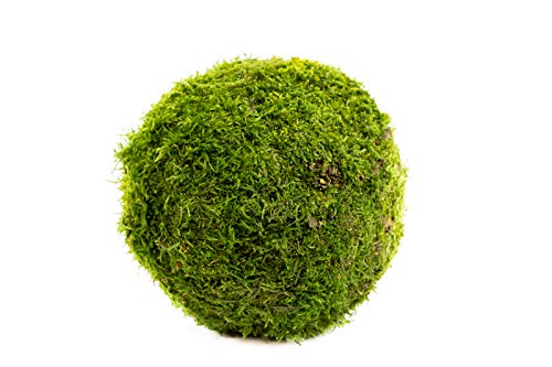 Company Interiors Preserved Moss Ball 15cm – Living & Preserved Dried Green Decorative Moss for Wall Art, Décor, Home Decoration, Craft, Floristry