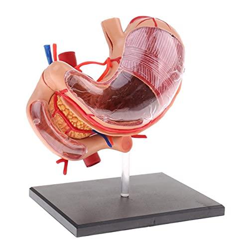 Modelo Anatómico De Estómago Humano De 2/3 De Tamaño Natural, Modelo De Estómago De Visión 4D con Vaso De Páncreas Y Órganos Internos, 9 Piezas, Modelo De Rompecabezas Educativo para Niños