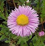 Stiamo vendendo solo semi Fresh 10000 semi - erigeron rosa jewel seeds Immagine fornita solo per riferimento Spediamo a livello internazionale Il prezzo include i dazi doganali