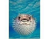 Wuqianjin Puffer Fisch Bahamas Fine Art Poster Druck, Fisch