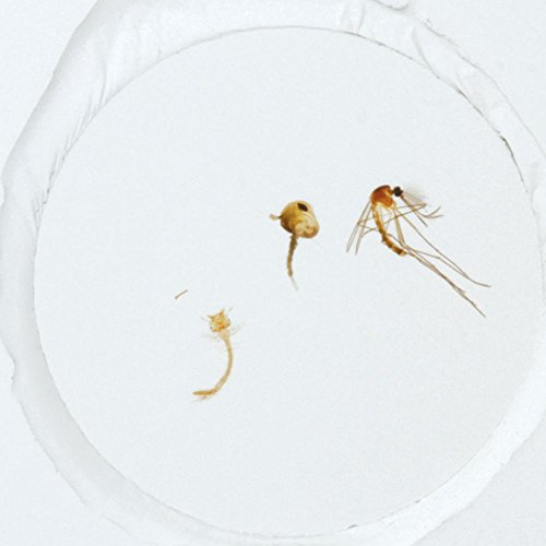 Mosquito Life Cycle, w.m. Microscope Slide