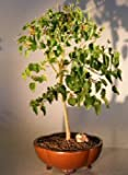 Bonsai Boy e2947 Flowering Dwarf Everbearing Mulberry Bonsai Tree - Morus Nigra