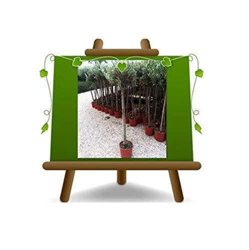 Olivier Olivenbaum Oliven Leccino - Obstpflanze Baum max 100-4 Jahre Anbau Italien