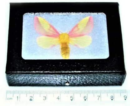 BicBugs Dryocampa rubicunda Real Framed Popular shop is the lowest price challenge shipfree Maple USA Rosy Pink Moth