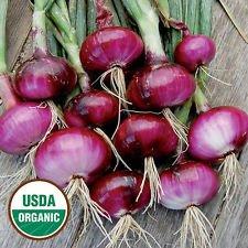 Certified Organic Red criolla Cebolla 200ct Semilla día corto para el mercado del sur