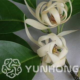 AGROBITS 10pcs Aromatic Michelia Alba Flower Bonsai, Magnolia Bonsai Plant Bonsai Perfume Plant Home Garden