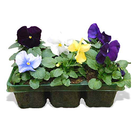 6 Pack Jumbo Pansy Bedding Pack Mix - Winter & Spring Colour. Blooming Outdoor Flowers. Large Garden Ready Plants for Baskets, Beds, Pots & Containers. Mixed Coloured Pansies. F1 Evo Matrix Variety.