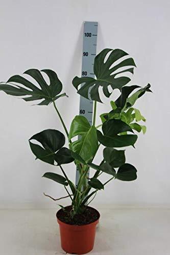 Monstera delicosa 80-90 cm Köstliche Fensterblatt Zimmerpflanze