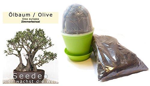 Seedeo® Bonsai Anzuchtset Ölbaum/Olive (Olea europea)