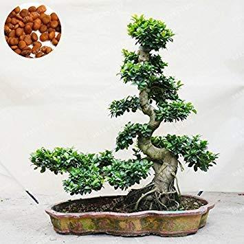 Fash Lady 20 Stücke Exotische Bonsai Baum Banyan Tree Seed Schreibtisch Ficus Ginseng Samen Mehrjährige Ficus Microcarpa Die Angehende Rate 95%