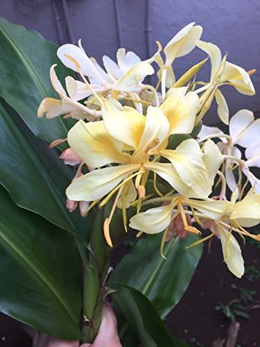 Ferry frisch Gelber Ingwer Pflanzen Rhizome/Birnen Leicht Smells Große einfach zu wachsen, um zu wachsen