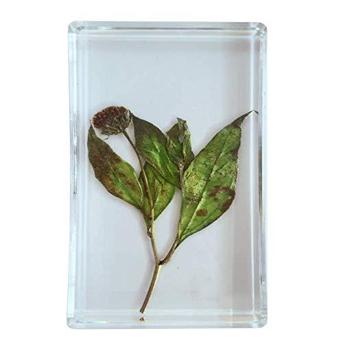LXX Jerusalem Artischocken-Pflanzenexemplar – echte Pflanze in Harzproben – Transparentes Kunstharz-Pflanzenmodell – eingebettete biologische Exemplare für Lehrinstrument
