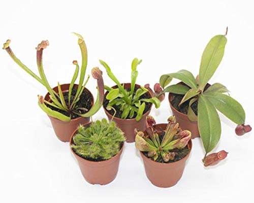 Live Carnivorous Plants (5 Pack Assorted Combo) Healthy - Potted 2'