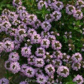 Kaskadenthymian - Thymus longicaulis