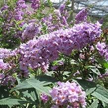 Buddleia-Lo-and-Behold-Lilac-Chip - QT Pot (Shrub)