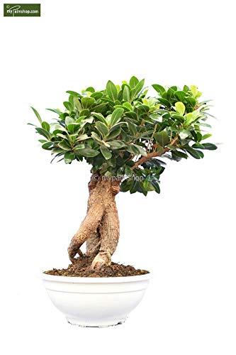 """Ficus Bonsai - Chinesische Feige - Bonsai Bäumchen - Ficus marcrocarpa Compacta\""""Ginseng\"""" - Größenauswahl (40-50cm - Topf Ø 23cm)"""