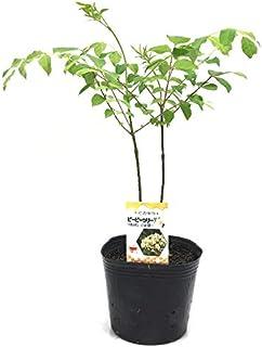(株)赤塚植物園 ④ 2本植え! 最強の蜜源植物 ビービーツリー(イヌゴシュユ) 6号