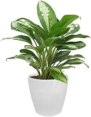 EaglesFord Chinese Evergreen Or Aglaonema Modestum in Plastic Pot