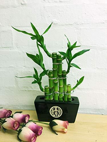 Easy Plants Plante en bambou porte-bonheur à 3 étages dans un pot en céramique (couleur aléatoire) – Bonsaï d'intérieur pour Feng Shui